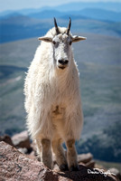 Mountain Goats of Mount Evans 1