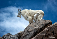 Mountain Goats of Mount Evans 4